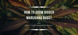 How to Grow Bigger Marijuana Buds?