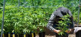 How To Determine That You Are Paying For Good Cannabis Flower